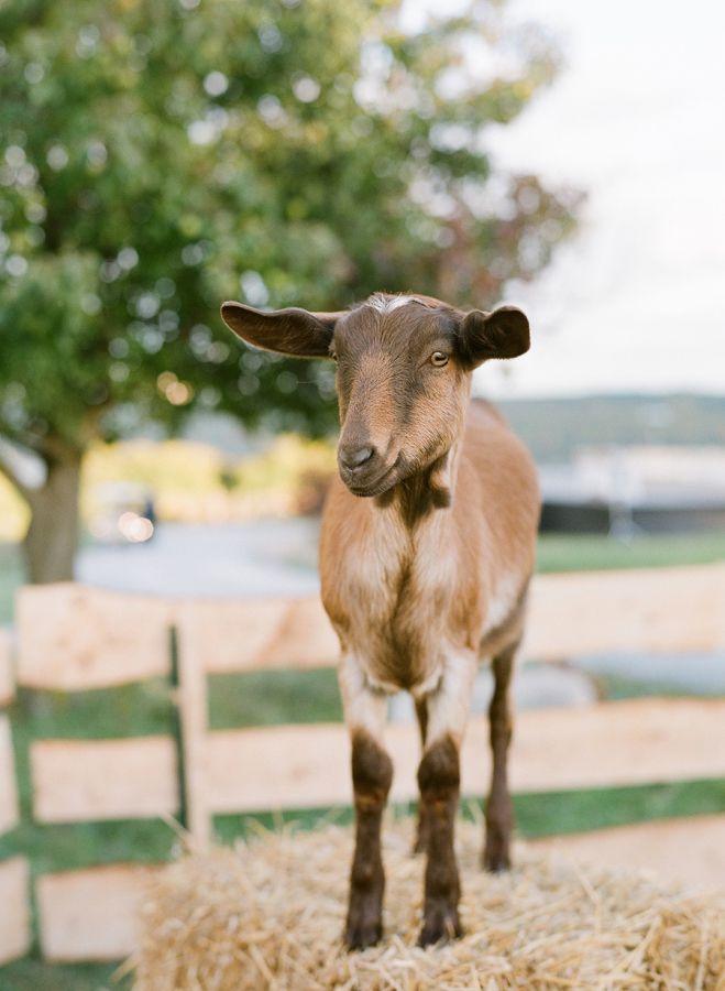 chèvre mariage en automne